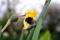 El abejorro est? buscando en un d?a soleado fotografía de archivo