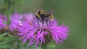El abejorro est? en una flor marr?n de la centaurea metrajes