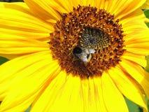 El abejorro grande recoge el néctar imagen de archivo libre de regalías