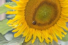 El abejorro lanudo recoge amarillo del polen Foto de archivo