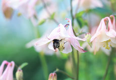 El abejorro lanudo subió en el brote de una campana para el néctar Fotos de archivo