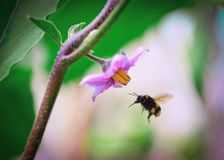 El abejorro lanudo vuela alrededor de una flor rosada en el prado en el verano imagen de archivo