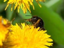 El abejorro limpia su picadura Imágenes de archivo libres de regalías