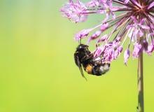 El abejorro melenudo negro recoge el néctar de las flores en su Imagen de archivo libre de regalías