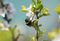 El abejorro melenudo recoge el néctar de las flores de cerezo en primavera Foto de archivo