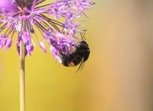 El abejorro melenudo recoge el néctar de las flores en el verano Foto de archivo libre de regalías