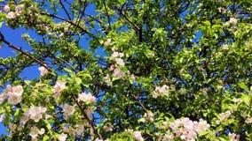 El abejorro mullido vuela y poliniza las flores blancas del manzano contra el cielo azul metrajes