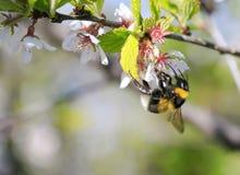 El abejorro negro melenudo recoge el néctar de las flores de cerezo en el SP Foto de archivo