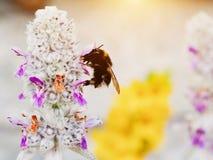 El abejorro o manosea el polen del cargamento de la abeja en la flor Fotografía de archivo