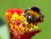 El abejorro o manosea la abeja en la flor amarilla y roja Foto de archivo