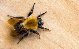 El abejorro o manosea la abeja y x28; Terrestris& x29 del Bombus; es el político importante Foto de archivo libre de regalías