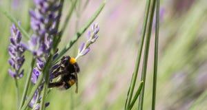 El abejorro oscuro poliniza las flores de la lavanda imagen de archivo