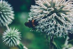 El abejorro poliniza espinas dorsales del bosque fotografía de archivo libre de regalías