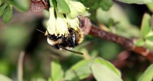 El abejorro poliniza las flores de la madreselva Primavera Foto de archivo libre de regalías