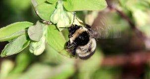 El abejorro poliniza las flores de la madreselva Primavera Imágenes de archivo libres de regalías