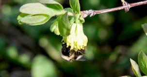 El abejorro poliniza las flores de la madreselva Primavera Fotos de archivo