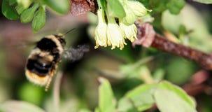 El abejorro poliniza las flores de la madreselva Primavera Imagenes de archivo