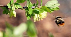 El abejorro poliniza las flores de la madreselva Primavera Fotografía de archivo libre de regalías