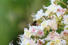 El abejorro poliniza los flores del ciruelo Fotografía de archivo