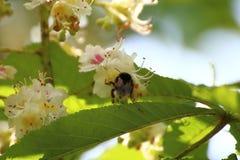 El abejorro poliniza los flores del ciruelo Foto de archivo