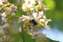 El abejorro poliniza los flores del ciruelo Fotos de archivo