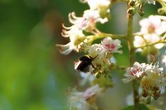 El abejorro poliniza los flores del ciruelo Foto de archivo libre de regalías