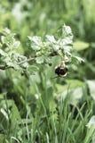 El abejorro poliniza un arbusto de grosella espinosa Fotos de archivo