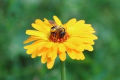 El abejorro poliniza una flor del calendula Fotografía de archivo libre de regalías