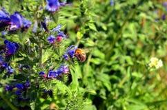 El abejorro poliniza una mala hierba azul Fotos de archivo