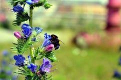 El abejorro poliniza una mala hierba azul Fotos de archivo libres de regalías