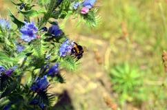 El abejorro poliniza una mala hierba azul Imagen de archivo