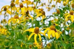 El abejorro que se sienta en las flores amarillas de la alcachofa de Jerusalén Foto de archivo