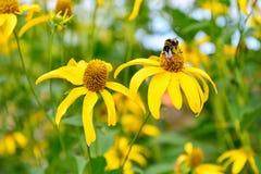 El abejorro que se sienta en las flores amarillas de la alcachofa de Jerusalén Foto de archivo libre de regalías