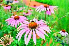 El abejorro que se sienta en una flor del purpurea del Echinacea está entre el th Foto de archivo libre de regalías