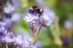 El abejorro que se sienta en una flor y recoge el néctar Fotos de archivo libres de regalías