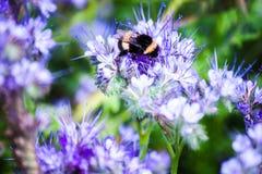 El abejorro que se sienta en una flor y recoge el néctar Fotografía de archivo