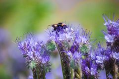 El abejorro que se sienta en una flor y recoge el néctar Imagenes de archivo