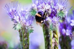 El abejorro que se sienta en una flor y recoge el néctar Imagen de archivo