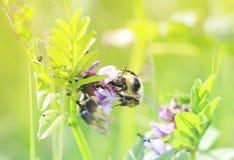 El abejorro rayado recoge el néctar de las flores en el prado del verano Imágenes de archivo libres de regalías