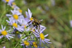 El abejorro recoge el néctar de la manzanilla azul foto de archivo libre de regalías