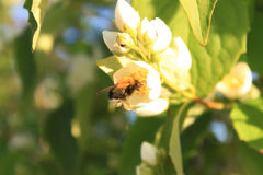 El abejorro recoge el néctar de las flores Imagen de archivo
