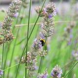 El abejorro recoge el néctar en la lavanda Imagen de archivo libre de regalías