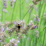 El abejorro recoge el néctar en la lavanda Foto de archivo libre de regalías