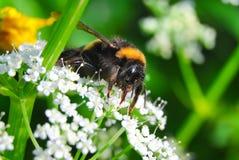 El abejorro recoge el néctar en las flores del ordinario del sniti Foto de archivo