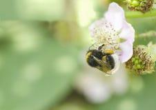 El abejorro recoge el néctar en una flor Foto de archivo
