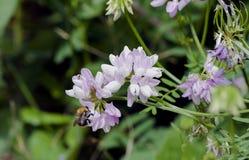 El abejorro recoge el néctar en una flor Imagen de archivo libre de regalías