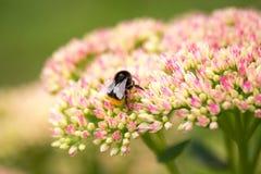 el abejorro recoge el polen de las flores en el jardín Fotografía de archivo libre de regalías