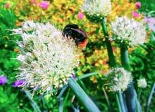 El abejorro recoge el polen de una flor en flowerin del fondo Imagenes de archivo