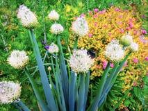 El abejorro recoge el polen de una flor en flowerin del fondo Imágenes de archivo libres de regalías