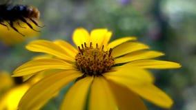 El abejorro recoge el néctar de las flores, cámara lenta metrajes